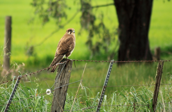 Brown falcon just outside of Benalla, Victoria, Australia.
